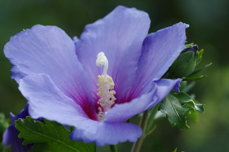 IMGP1739_hibiscus_8