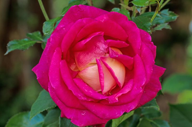_IMGP0711_rose_8